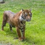 Tiger, Parken Zoo