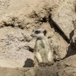 Surikat, Parken Zoo