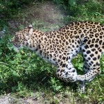 Amurleopard, Parken Zoo