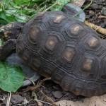 Rödfotad Skogssköldpadda, har fullt upp med att mumsa i sig massa grönt. Parken Zoo