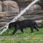 Svart Jaguar, man kan lätt skymta dottarna på ryggen. Parken Zoo