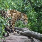 Jaguar, Parken Zoo