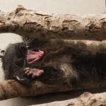 En trött Binturong, Parken Zoo