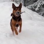 Idefix leker apport i snön.